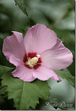 Hibiscus_Pink_Red2