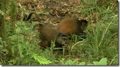 Golden_Monkeys_Mgahinga_Uganda. There is an estimated 3000-4000 individuals in the Virunga area which 42-60 are habituated in Mgahinga