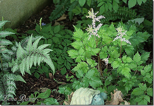 Astilbe_DelftLace