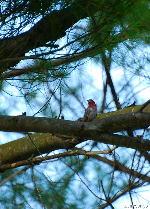 12. purple finch male-kab