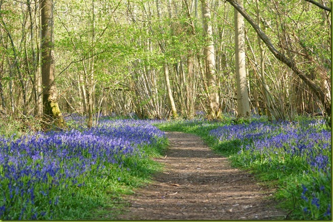Bluebells at Foxley wood