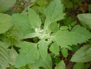Wild Spinach (Chenopodium album)_web
