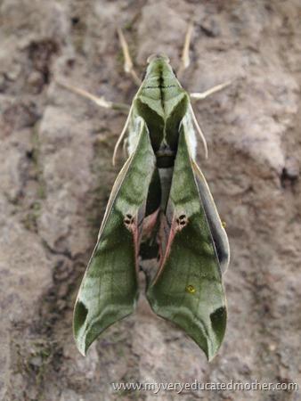 #garden #moth