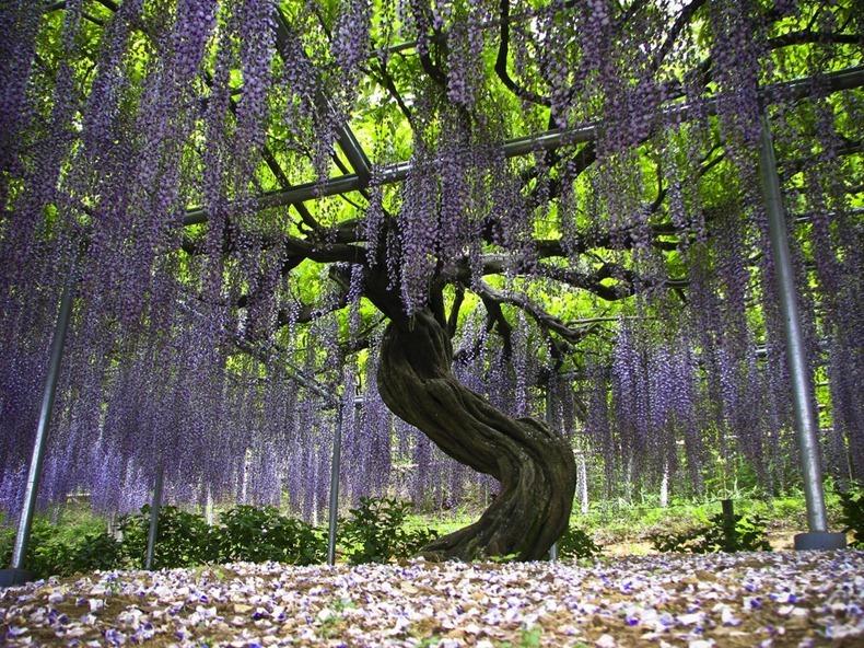 ashikaga-flower-park-6