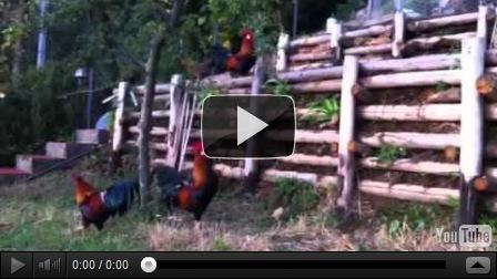 pollaio versiliese pulizia nel pollaio animali in salute