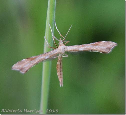 plume-moth-Platyptilia pallidactyla