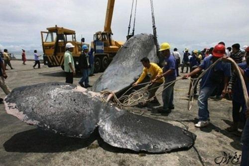 موت الحوت العملاق