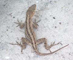 Florida 3. 2013 St Augustine chameleon