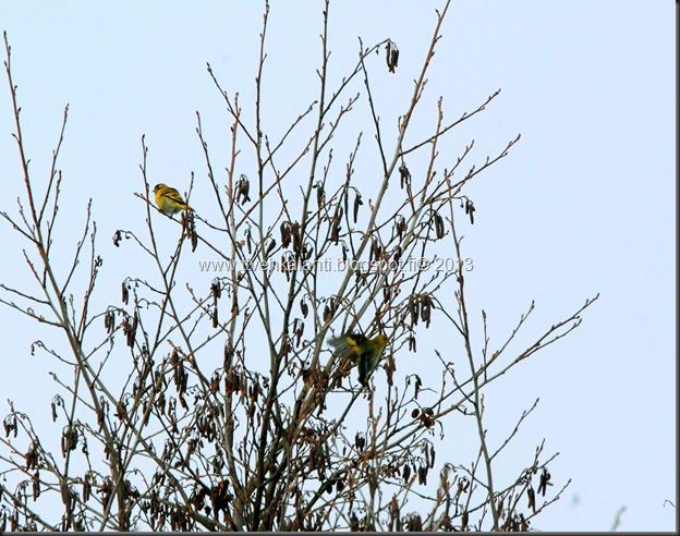 tilhe linnut kylpee keltasirkut 123