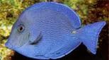 Antilles poisson chirurgien bleu