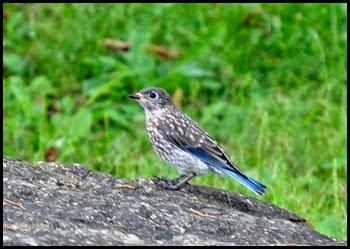 04d - Bluebird Chick 2
