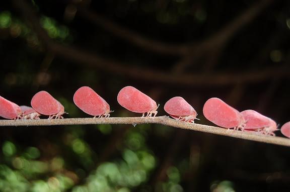 Hemiptera : Fulgoroidea : Flatidae : Phromnia rosea. Réserve d'Ankarafantsika (50 km à l'est de Majunga), 210 m d'altitude, 9 février 2011. Photo : T. Laugier