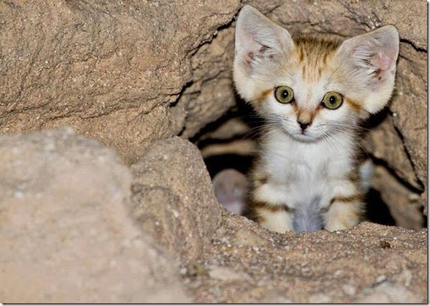 gato de arena cosasdivertidas info (1)