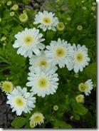 portmore chrysanths