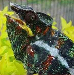 Amazing Pictures of Animals, photo, Nature, Exotic, Funny, Incredibel, Zoo, Panther chameleon, Furcifer pardalis, Reptilia, Alex (11)