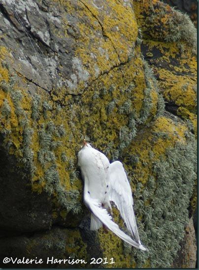 13-gull-on-line
