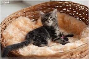 Фото история котят мейн кун в возрасте 7,5 недель 26