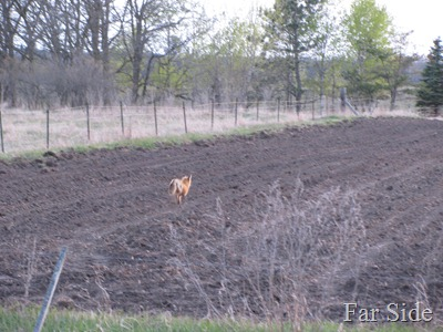 Fox running from the beef cattle