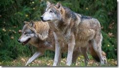 heidewolf.jpg__498x280_q80_crop-,