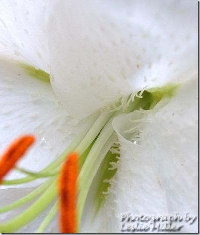 lilywhitewebsept09