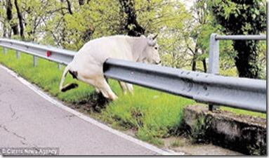 Cow stuck divider