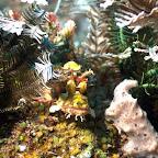 kleiner Skorpion-Fisch, Komodo