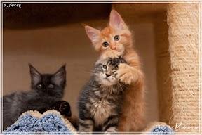Фото история котят мейн кун в возрасте 7,5 недель 14