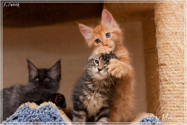 Котята мейн кун уход и кормление