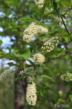 Chokecherry Blooms May 30