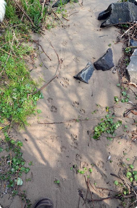 Pfotenspuren im Sand (01) in Gernsheim am Rhein