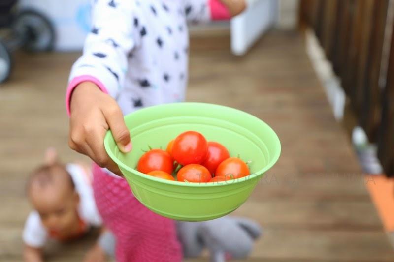 tomatoes harvest