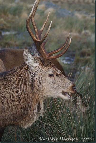 25-red-deer