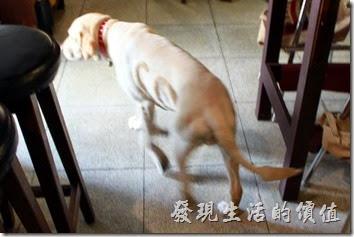 栗子咖啡的店狗叫CoCo(Gril),已經12歲了,以狗的年紀來說算是有點老了,店家希望客人不要餵食牠,所以看牠一直在我們身邊晃來晃去的,還一付表情無辜樣,楚楚可憐的樣子。