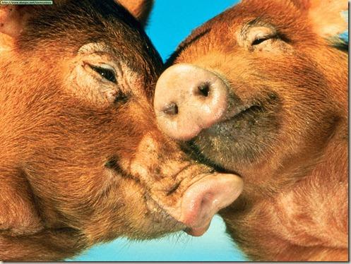 cerdos_acariciandose