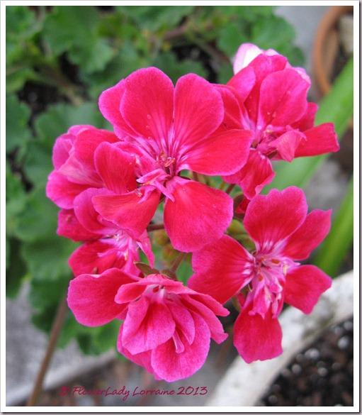03-18-tex-mex-geraniums