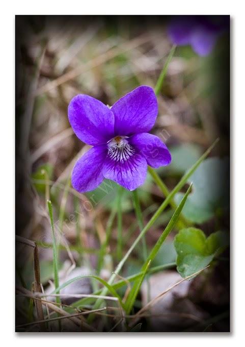 Spring 5  H Violet