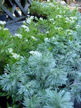 015 Galium odoratum Artemisia schmidtiana Daniel Grankvist
