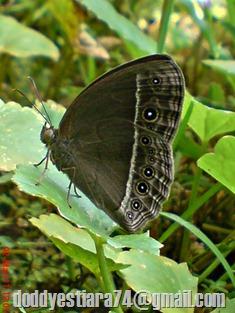 """Kupu-kupu """"Bushbrown butterfly"""" (Mycalesis horsfieldi)"""