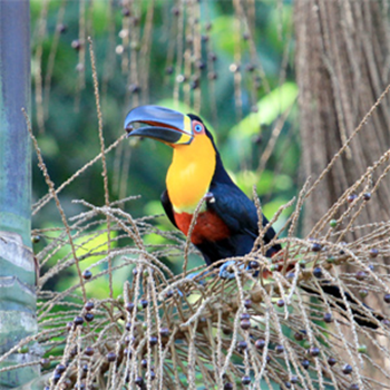 The channel billed toucan (Ramphastos vitelinus) is an important seed disperser in rainforests. The extinction of large, fruit-eating birds in fragments of Brazil's Atlantic rainforest has caused palm trees to produce smaller seeds over the past century, impacting forest ecology, finds a study published in the journal Science. Photo: Lindolfo Souto