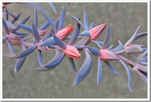 120821_Echeveria-Afterglow_04