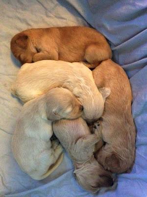 Gorgeousdoodles Australian Labradoodle babies