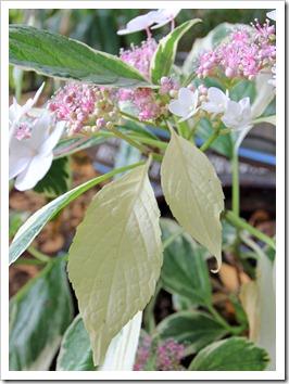 130527_Hydrangea-macrophylla-Tricolor_07