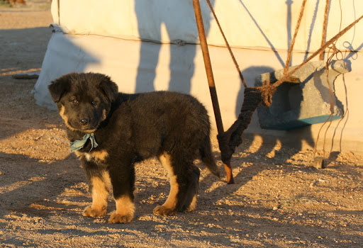 Is there anything more adorable than a Mongolian puppy?