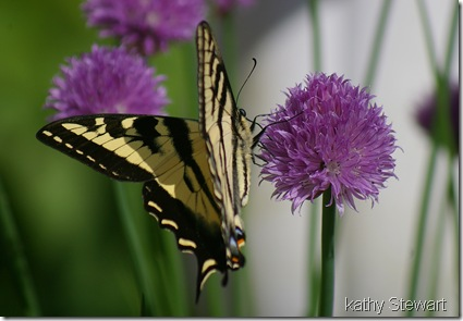 Western Swallowtail on Chive blossom