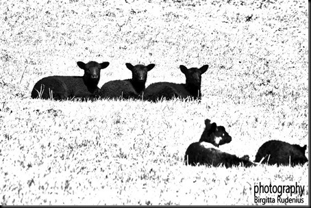 bw_20120416_sheep