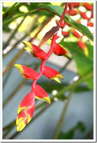 Jamaica Flower IMG_7048