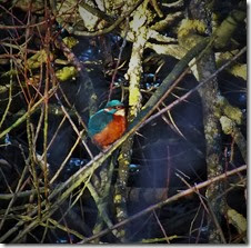 kingfisher 2 Jan 2014