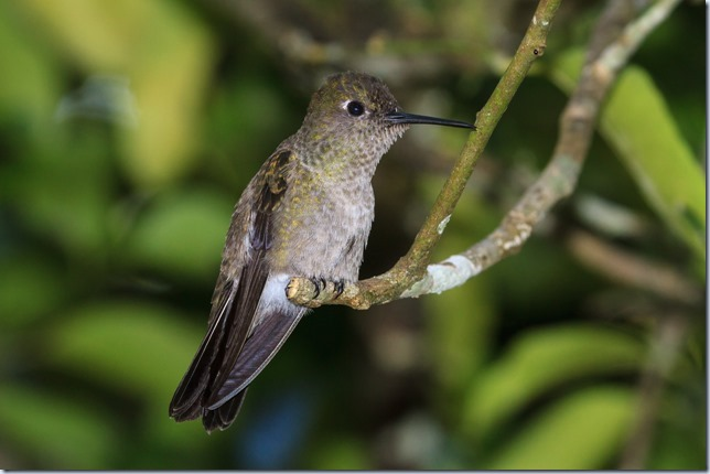 Sombre_Hummingbird-1