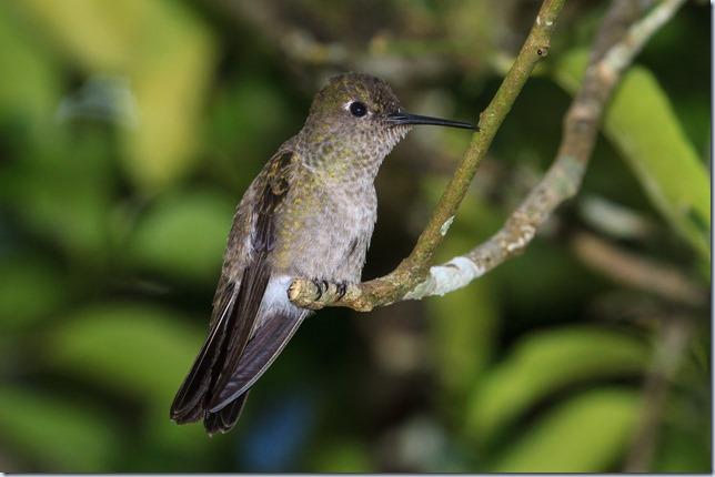 Sombre_Hummingbird-1