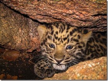 amurleoparden